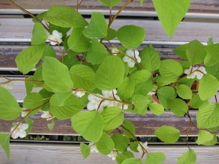 鉢植えのマタタビ