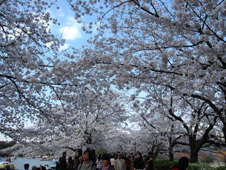 上野公園 不忍池の桜